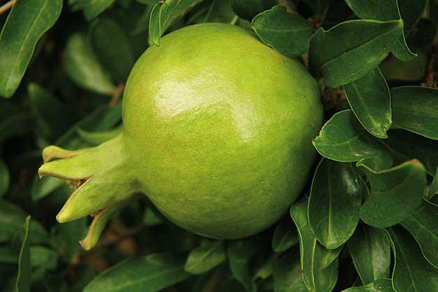 V. Rodríguez. La magrana, fruit del magraner, és un fruit gros, de forma globosa, amb una pell que va del color verd fins al rosat i el vermell.