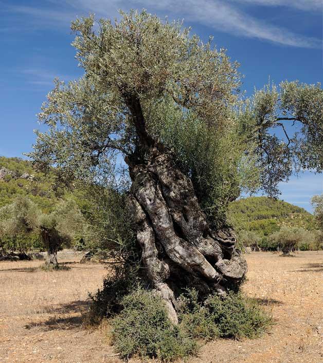 José Plumed   Segons la mitologia grega, l'olivera ('Olea europaea') té un origen diví. Va ser la deessa Atenea qui va crear l'arbre per a la ciutat d'Atenes. Aquest és el motiu pel qual la ciutat duu el seu nom.