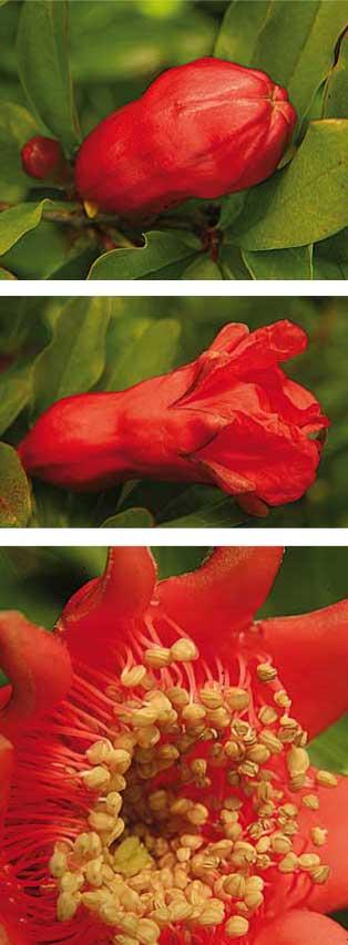 La magrana, fruit del magraner, és un fruit gros, de forma globosa, amb una pell que va del color verd fins al rosat i el vermell.