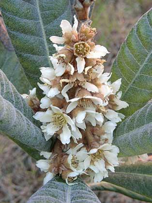 Pepa Granados | El nisprer floreix a la tardor, es desenvolupa durant l'hivern i el fruit es cull a començament de la primavera. Les flors del nisprer, fragants i riques en nèctar, atrauen molts insectes.