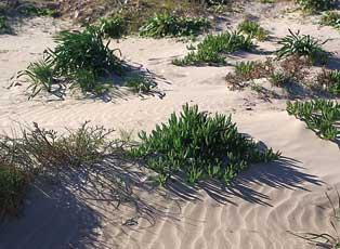 E. Laguna   Invasió de 'Carpobrotus edulis' a les dunes incipients entre els paratges del Dosser i el cap de Cullera.