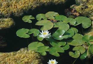 E. Laguna   Nenúfar ('Nymphaea alba') és una de les espècies que ha experimentat un declivi poblacional més notable al territori valencià, amb la desaparició dels grans frups de plantes dels estanys d'Almenara en la dècada de 1990, i de Xeresa-Xeraco en l'actualitat.