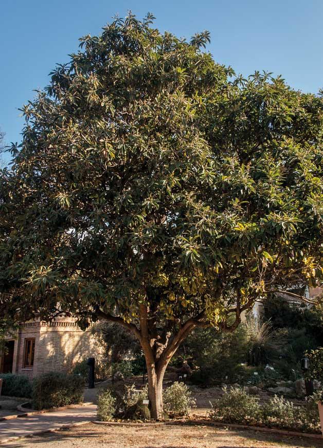 Pepa Granados | Eriobotrya japonica és un arbre que pot arribar als deu metres d'alçada, tot i que en ser cultivat no sol superar-ne els quatre.