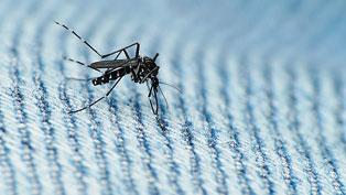 El mosquit tigre és conegut per picar de manera agressiva durant el dia i, principalment, per ser vector de moltes malalties, incloent-hi el dengue i el chikungunya. / Coniferconifer