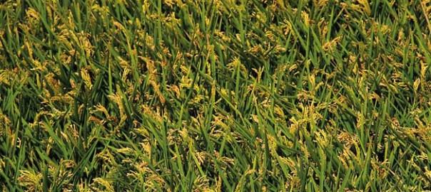 Fotografia de cultius d'arròs al Parc de l'Albufera