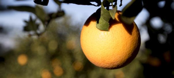 taronja valenciana